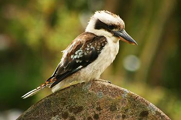 Kookaburra_Toby Hudson