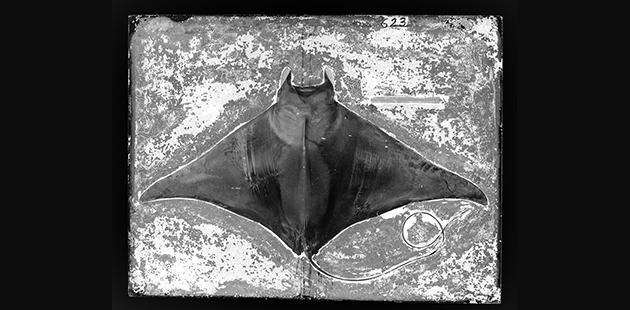 Common Eagle Ray, Myliobatis aquila