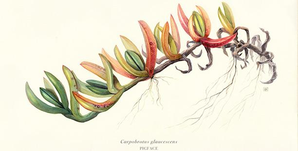 Rachel-Klyve-Carpobrotus-glaucescens-courtesy-Australian-Museum
