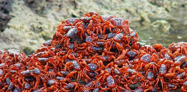Christmas-Island-Red-Crabs