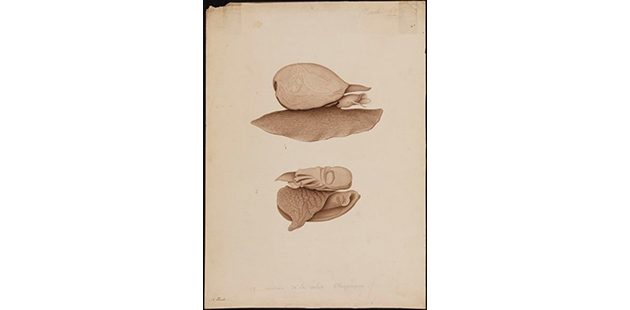 TC Drawing of Volute ethioienne specimen Shark Bay 1820 A Provist Freycinet collections State Library of Western Australia