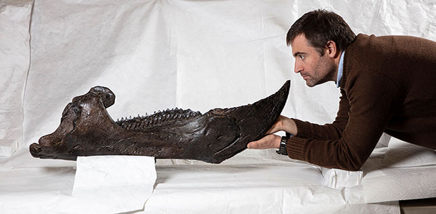 Museums-Victoria-Dr-Erich-Fitzgerald-looking-at-the-lower-jaw-of-the-Triceratops-photo-by-John-Broomfield