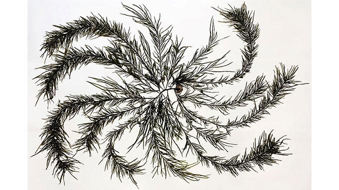 AAR-MAG&M-Seaweed-Arboretum-Large-Crayweed