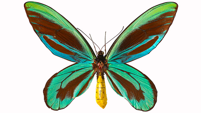 MM Queen Alexandra's Birdwing Butterfly courtesy of The Trustees of the Natural History Museum London